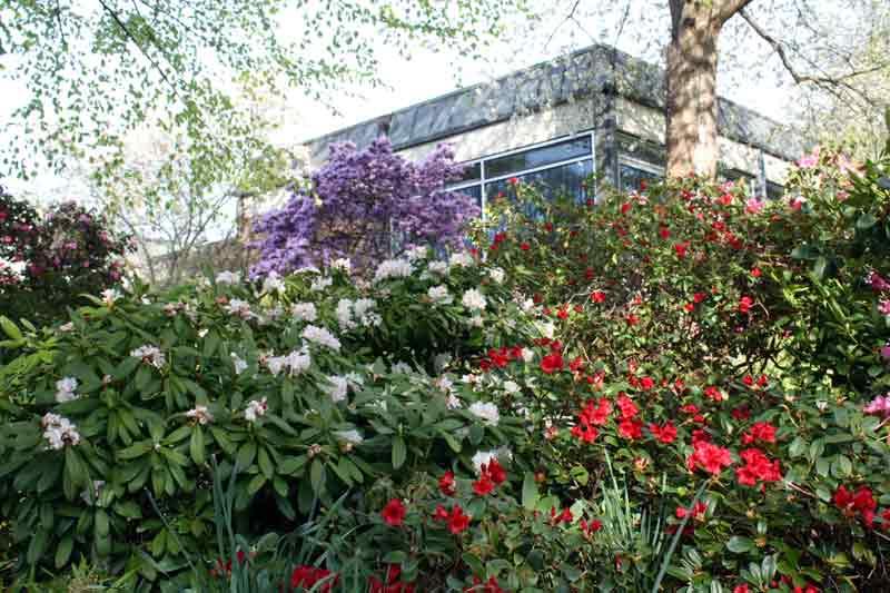 Blühende Rhododendren am Haus des Kurgastes