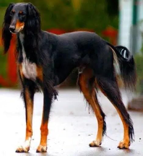 Saluki_dog_breed