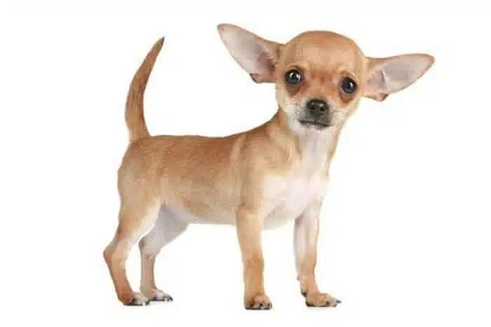 perros-Chihuahua