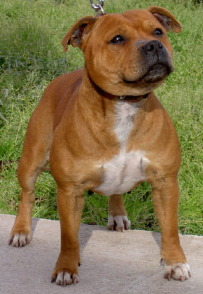 Stafordshire Bull Terrier