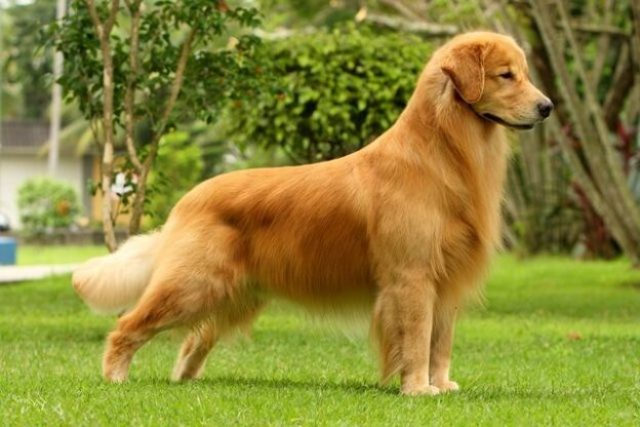 Golden Retriever Canadiense