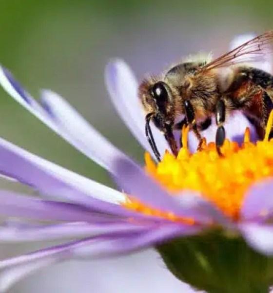 veneno de abejas