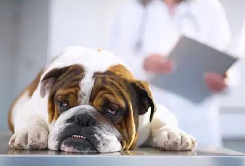 bulldog_salud