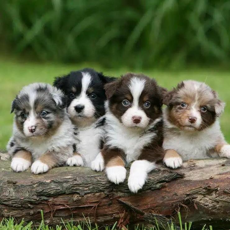 Cachorros pastor australianos