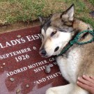 Wolf-dog Cries on his Owner's Grave