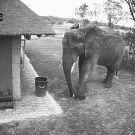 Elephant Picking Up The Trash