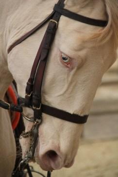 la-voie-de-lecuyer-academie-equestre-de-versailles-by-audrey-s