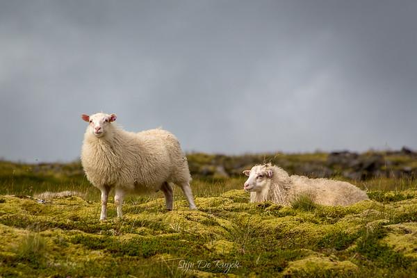 Sheep along Raudasandsvegur, Westfjords