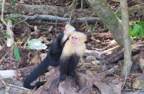 monos-playa-manuel-antonio