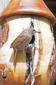 Wren Feeding