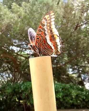 Bambú mariposa.jpg