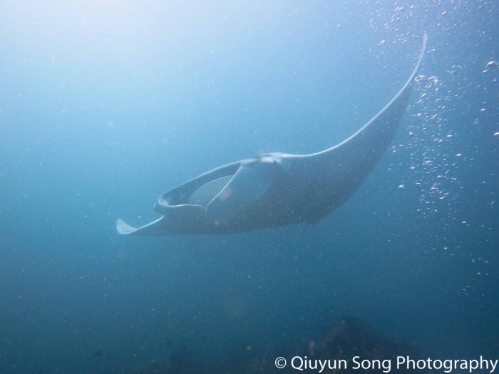 Diving Raja Ampat Manta Ray Blue Magic