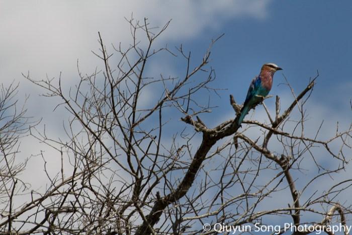 Kenya Maasai Mara Bird - Lilac Breasted Roller