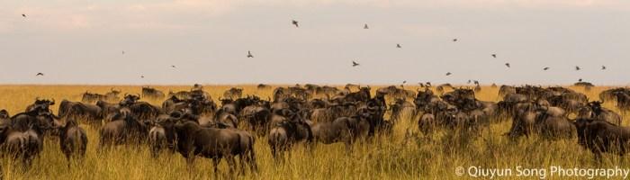 Kenya Maasai Mara Great Annual Wildebeest Migration