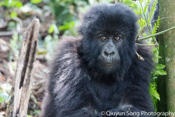 Rwanda Mountain Gorillas - Itch For Change