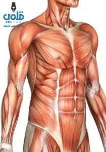 كم من عضلة في جسم الانسان