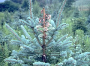Quinault Tree Improvement Program | Quinault Forestry Department