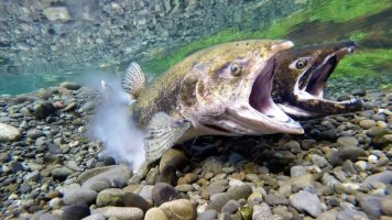 Governor Inslee Wants to Boost Salmon | Quinault Fisheries Department