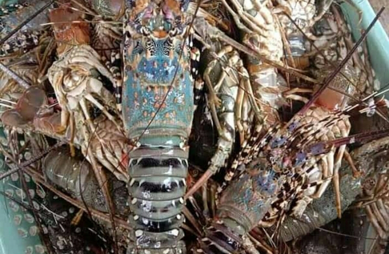 Lobster Telong Eling Lombok