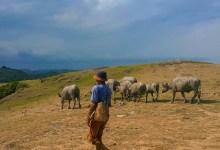 Gembala ternak kerbau