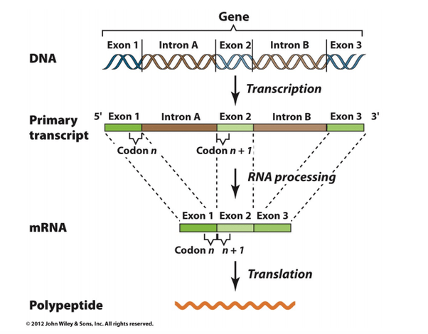 Where Does Transcription Begin Dna