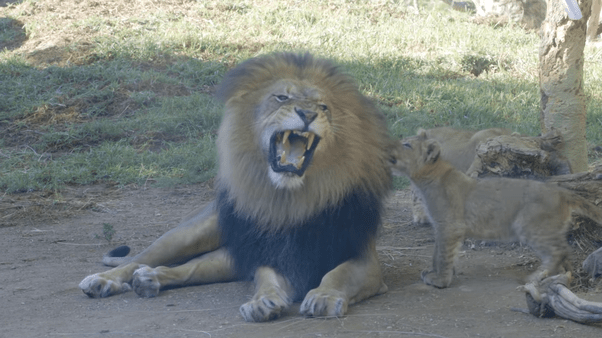 Angry Lioness Protects Her Lion Cub Meme Maker