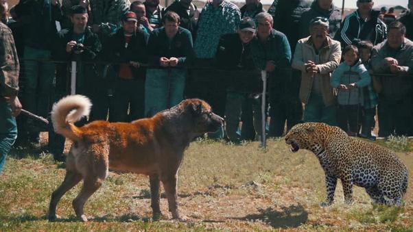 Vs Dog Shepherd Caucasian Wolf