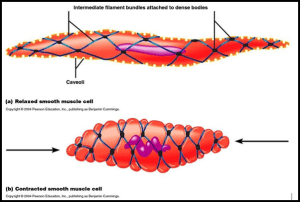 What does a smooth muscle cell structure look like?  Quora