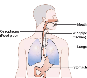 What is the difference between a trachea and an esophagus