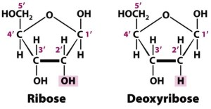 What is the difference between ribose and dexyribose?  Quora
