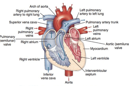 external features of right atrium » Full HD Pictures [4K Ultra ...