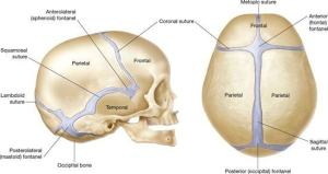 Why are there joints in the skull when they don't move with relation to each other?  Quora