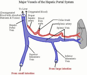What is the difference between hepatic vein and hepatic