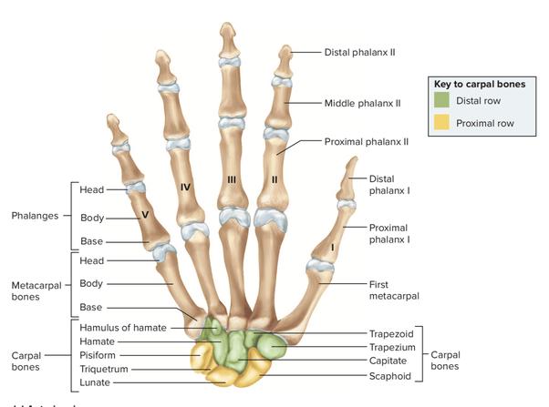 Base Metacarpal Fracture 1st