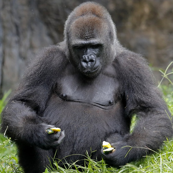 gorillas aggressive towards humans