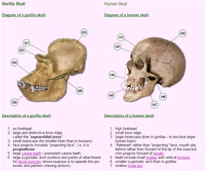 How do human and ape skulls pare to each other?  Quora