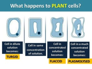 What is the difference between plasmolysis and flaccidity?  Quora