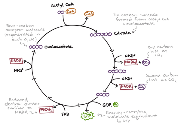Citric Acid Cycle Made Easy
