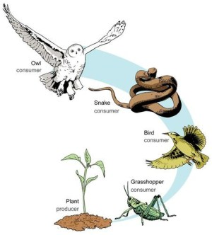 When a peacock eats snake which eat insects thriving (eating) on green plants then what kind of