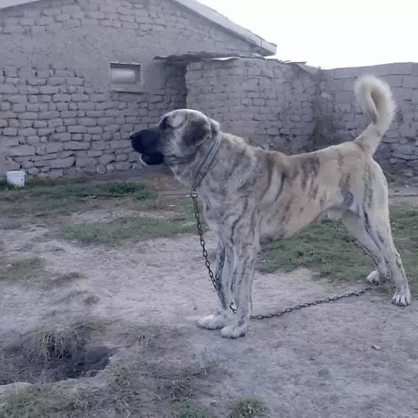 Vs Shepherd Caucasian Wolf Dog