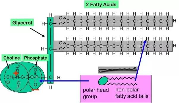 Phospholipid Glycerol Polar Part