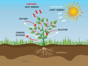 How does photosynthesis in a plant take place?  Quora