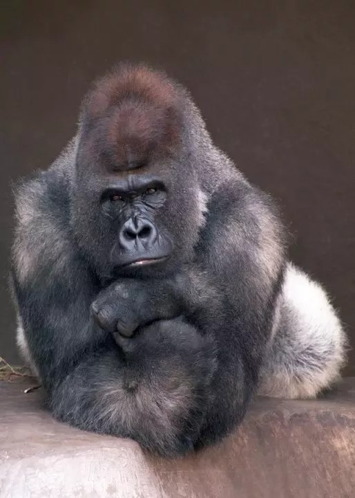 why don t gorillas attack humans quora