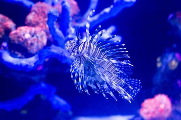 Amazing lion fish