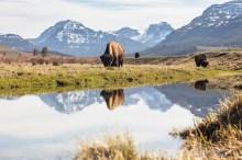 US Wyoming Yellowstone Lamar%20Valley bull%20bison NPS%20%20Jacob%20W%20Frank