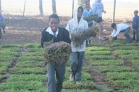 Boys help lay sod for soccer field.