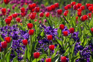 denise-a_teensspring-flowers-tulips