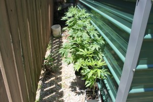 Authorities report that they found pot plants near this fenced area at Peden's home.