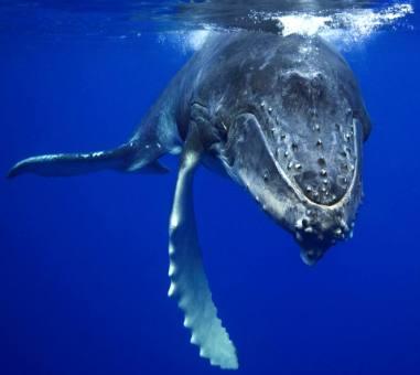 humpback_whale_tonga_kulo_luna