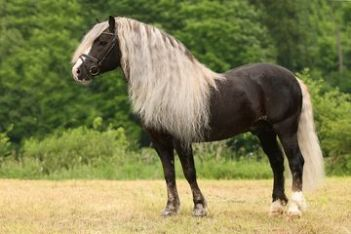 The German Black Forest Horse